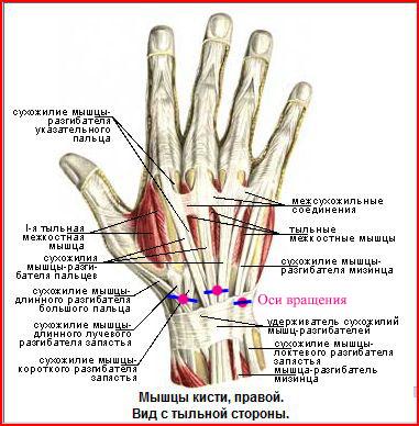 Перебил сухожилие на пальце что делать